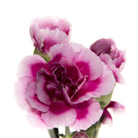 Mini Carnation